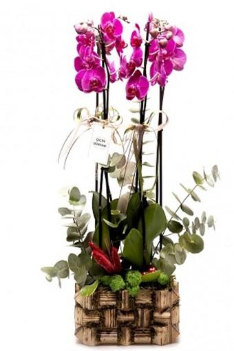 Natural Orkide