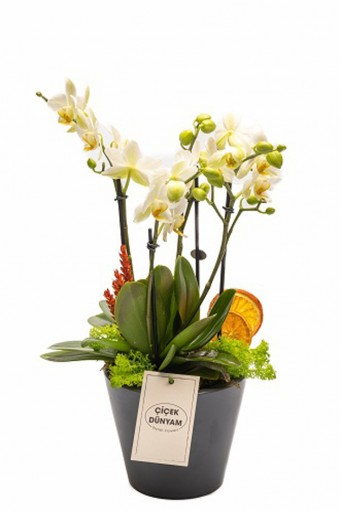 Tiny Orkide